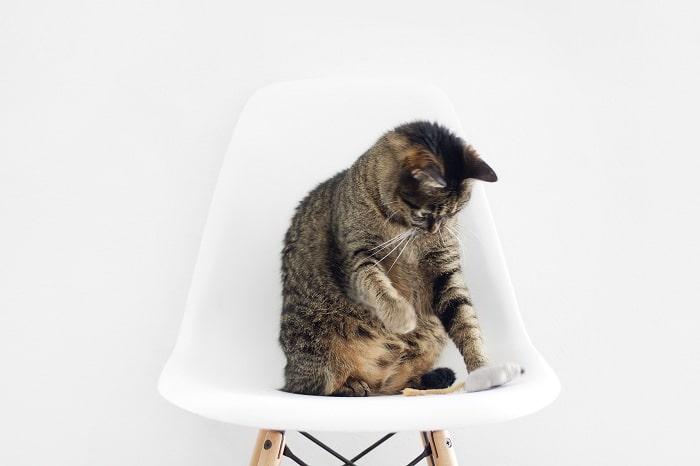 Cách chăm sóc mèo Mướp