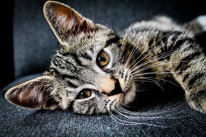 Đặc điểm tính cách của mèo Mướp