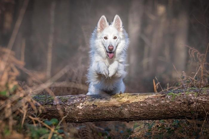 Husky hoang dã?