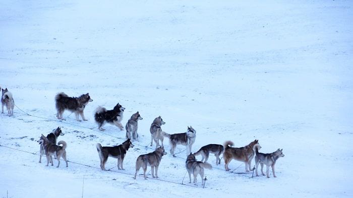 Husky tăng động và tinh nghịch