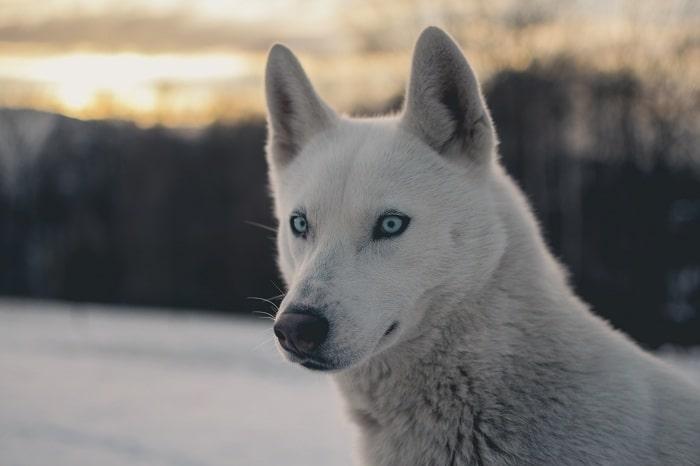 Husky thông minh và trung thành