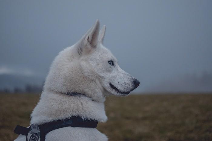 Husky tình cảm và dễ thương