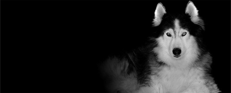 anh dep cho husky siberia