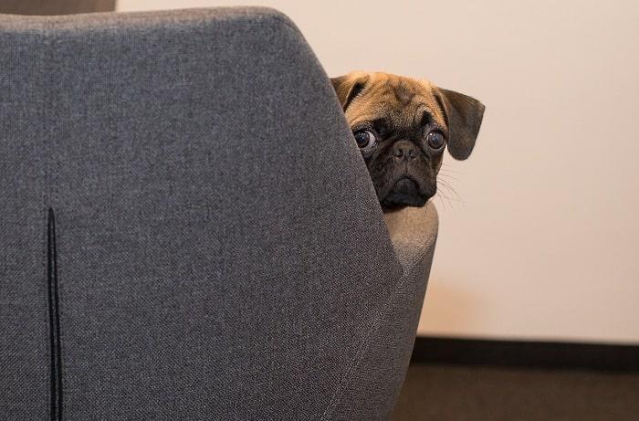 Chó Pug Pháp