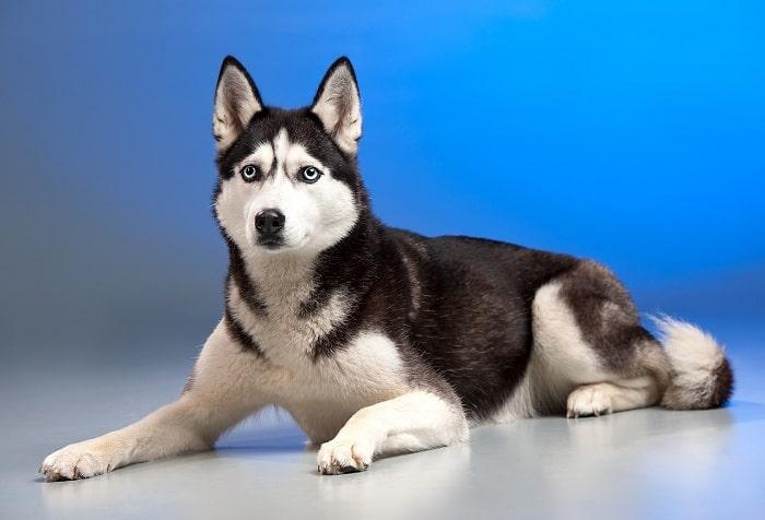 Các bệnh về mắt cho husky