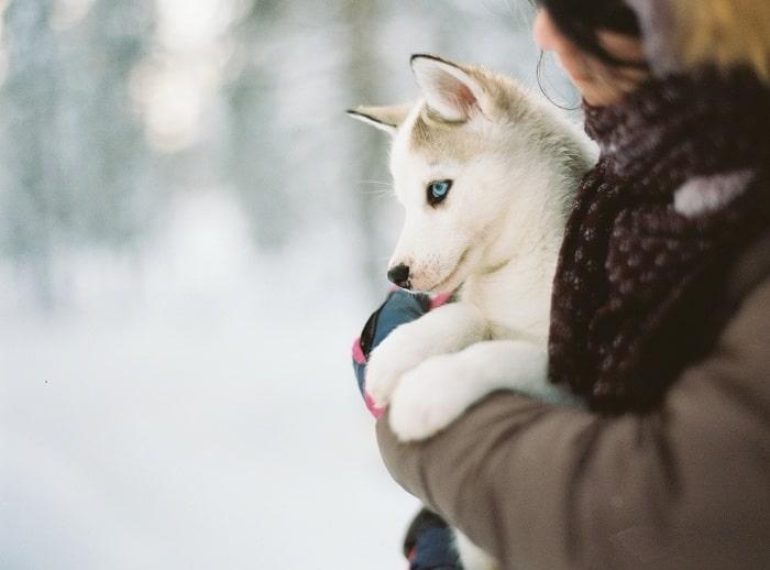 Bộ lông của chó Husky
