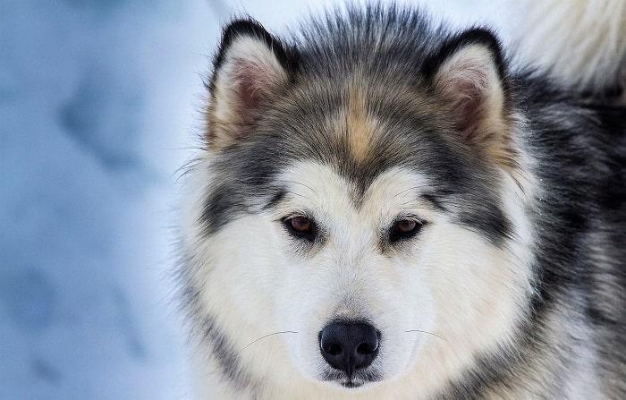 Các Bệnh Chó Husky Thường Hay Mắc Phải