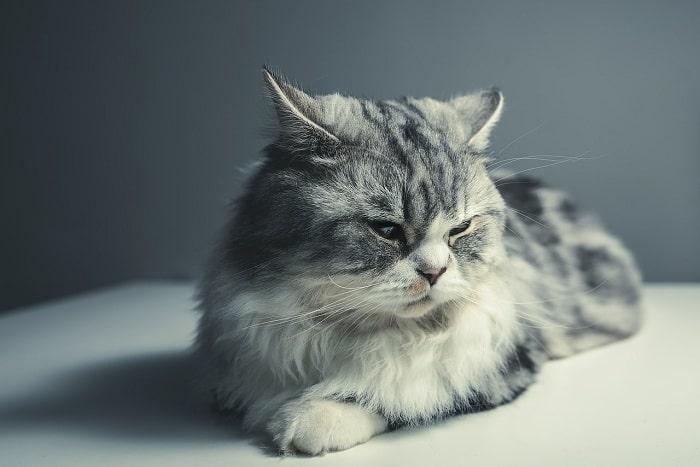 Cách Chăm Sóc Lông Cho Mèo Ba Tư