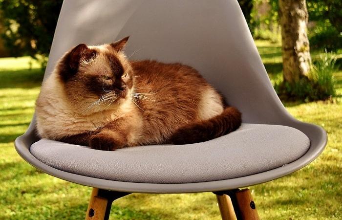 Cách Chăm Sóc Nuôi Mèo Anh Lông Ngắn