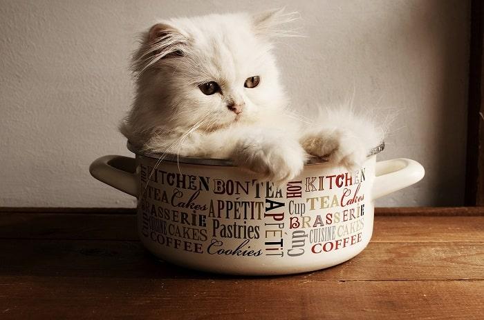 Cách Chăm Sóc Mèo Ba Tư