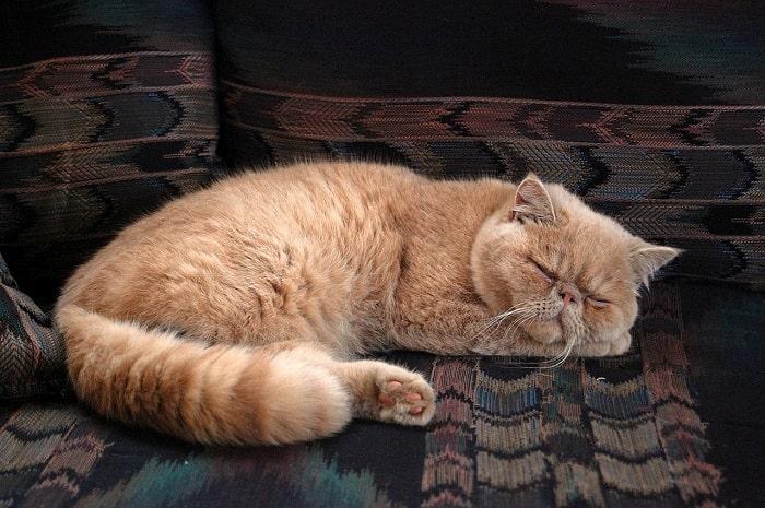 Cách Cho Mèo Ba Tư ăn