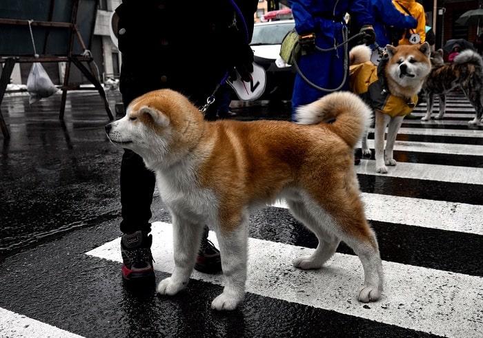 Cách Làm Vệ Sinh Cho Chó Akita