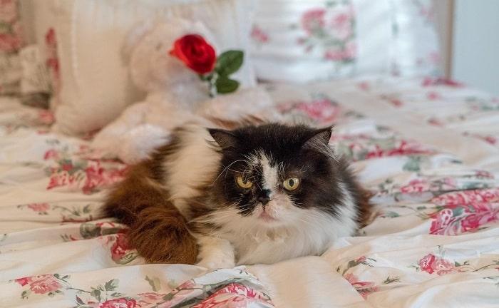 Cách Vệ Sinh Cho Mèo Ba Tư