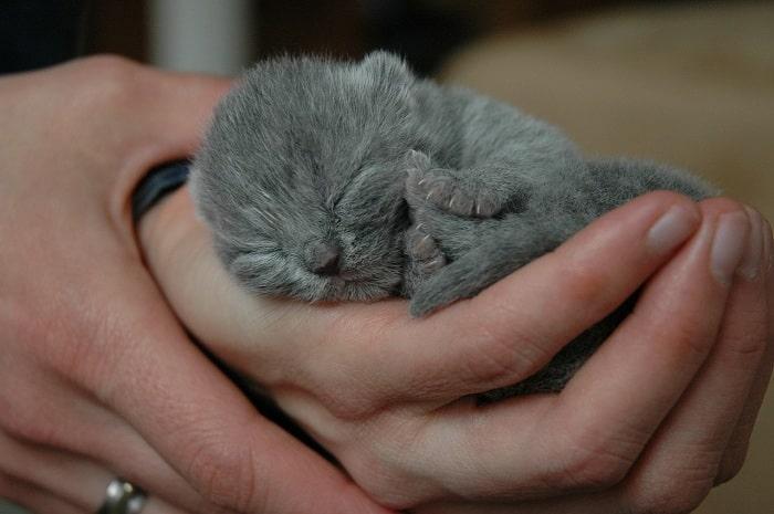 cat british shorthair
