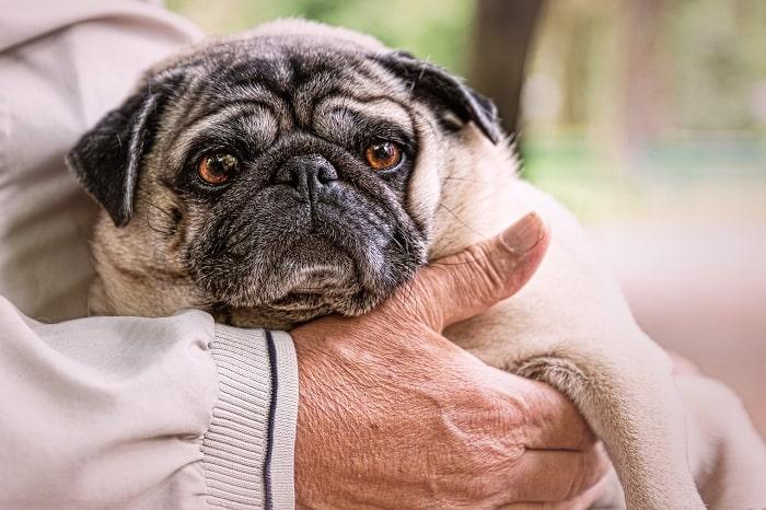 Chế độ dinh dưỡng cho chó Pug