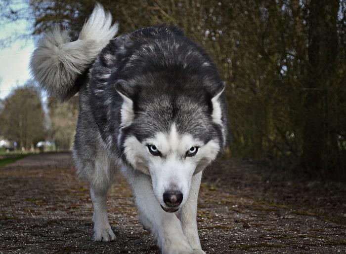 Chiều cao cân nặng của chó Husky