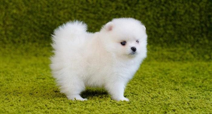 cho Pomeranian