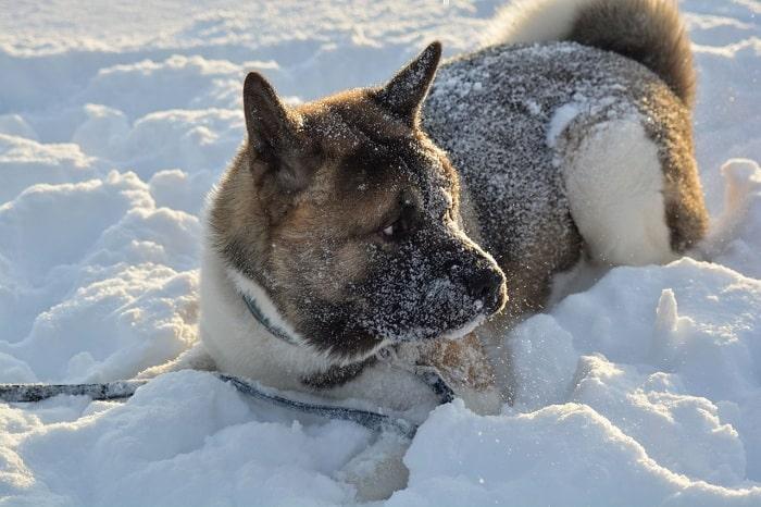 Chó Akita Ban Đầu Để Chiến Đấu