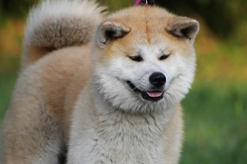 cho-akita