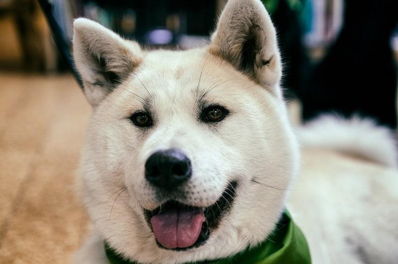 Chó Akita nhật bản