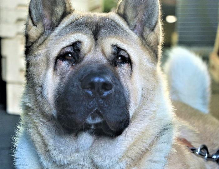 Chó Akita Rất Hay Hung Dữ