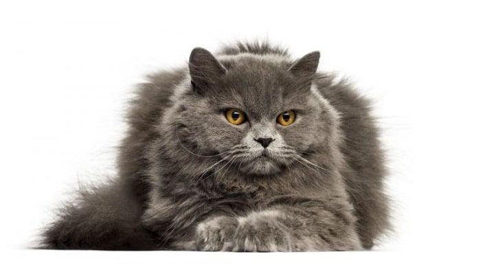 Chuẩn Bị Trước Khi Mua Mèo Anh Lông Dài