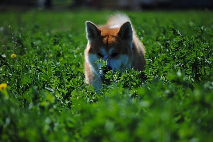 Có Hai Loại Chó Akita Bạn Nên Biết