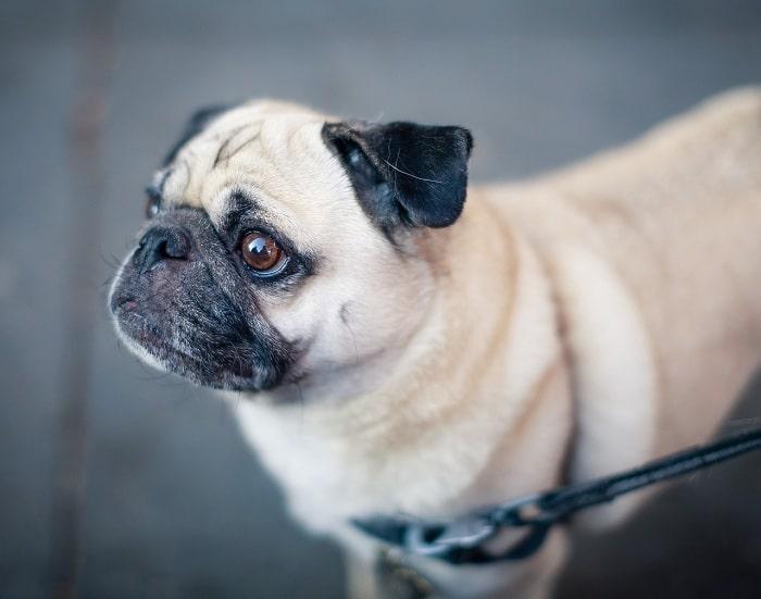 Đặc Điểm Lông Của Chó Pug