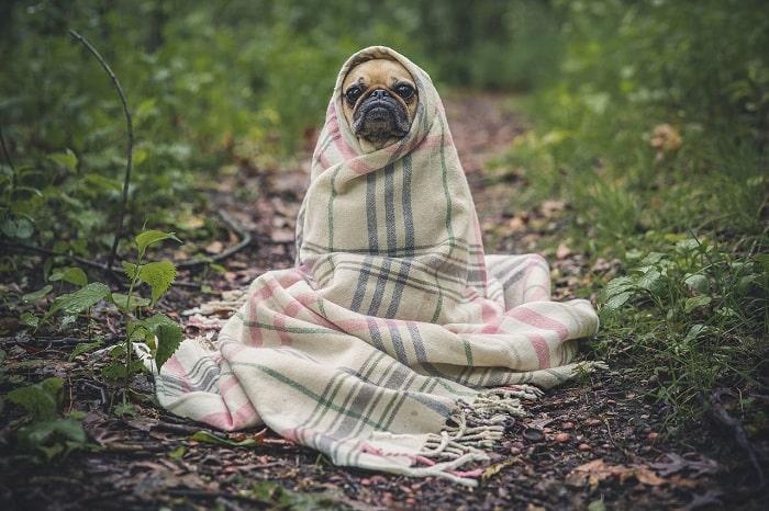Đặc Điểm Nhận Biết Chó Pug