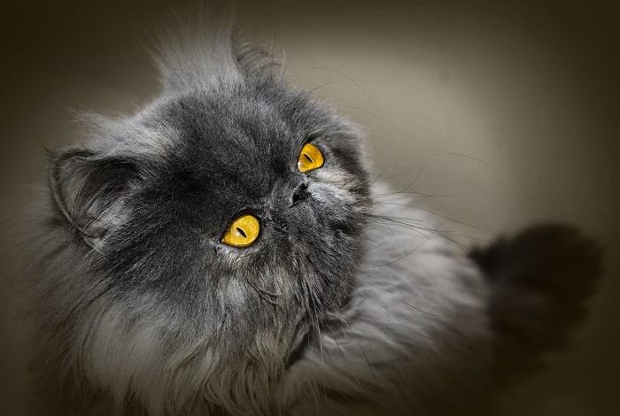 Đặc Điểm Nhận Dạng Ngoài Hình Mèo Ba Tư