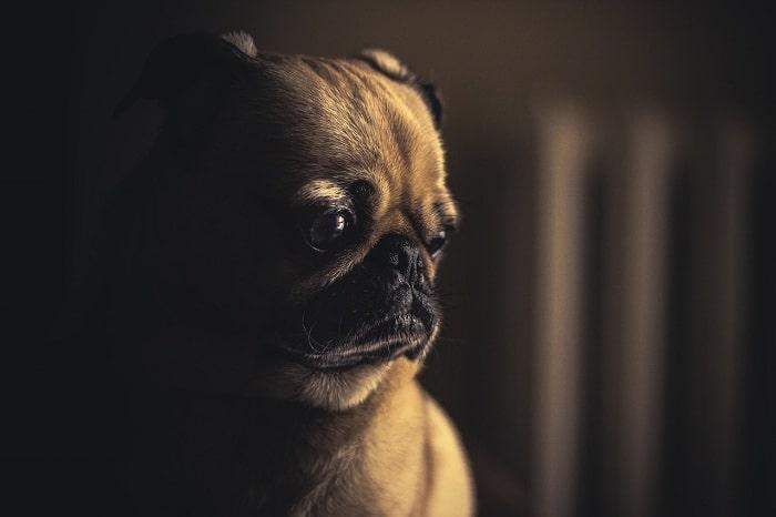 Đặc Điểm Nhận Dạng Phần Đầu Chó Pug