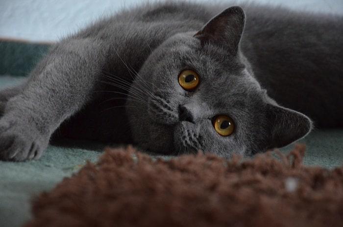 Đặc Điểm Ngoại Hình Mèo British Shorthair