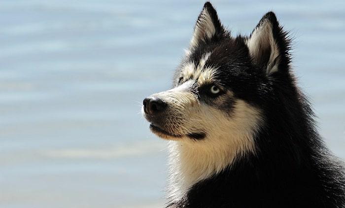 Điều kiện khí hậu Phù Hợp Với Chó Husky