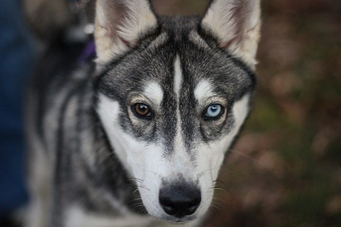 Đôi mắt của chó Husky