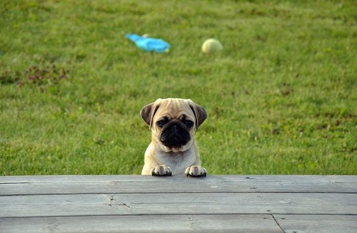 Đối với chó Pug từ 3-6 tháng tuổi