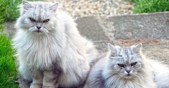 Giá Mèo Anh Lông Dài Nhập Từ Thái Lan