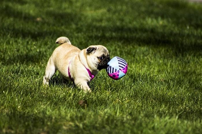 Huấn luyện chó phải biết chạy tới khi chủ gọi