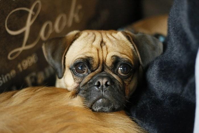 Hướng Dẫn Chọn Chó Pug Thuần Chủng