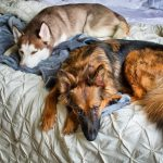 hướng dẫn mua chó husky
