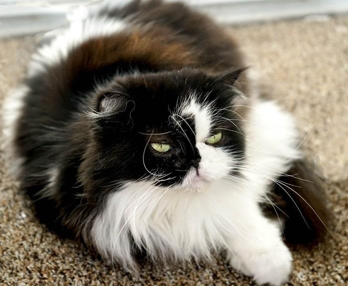 Khuôn Mặt Mèo Ba Tư