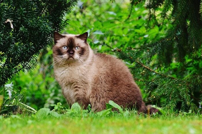 Kiểm Tra Sức Khỏe Cho Mèo Anh Lông Ngắn