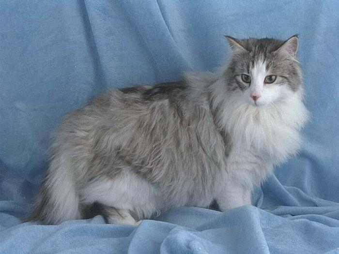 Nên Kiểm Tra Sức Khỏe Định Kỳ Cho Mèo Anh Lông Dài
