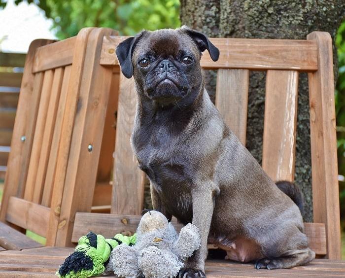 Kinh Nghiệm Huấn Luyện Chó Pug