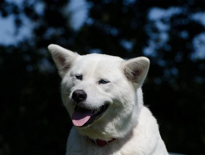 Kinh Nghiệm Mua Chó Akita