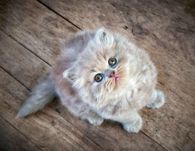 Mua Mèo Anh Lông Dài