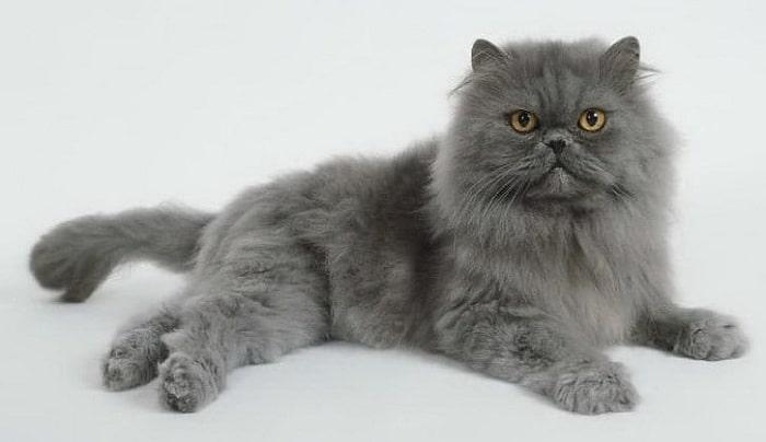 Mèo Anh Lông Dài Giá Bao Nhiêu?