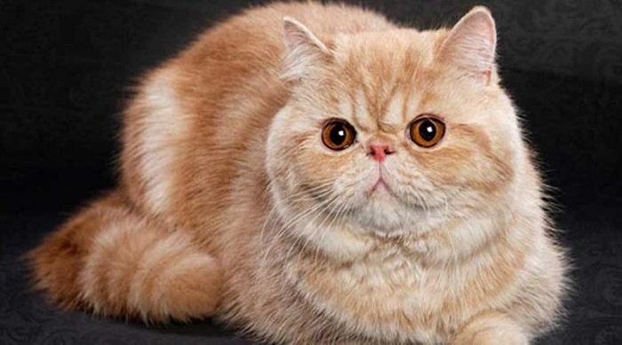 Mèo ba tư Exotic