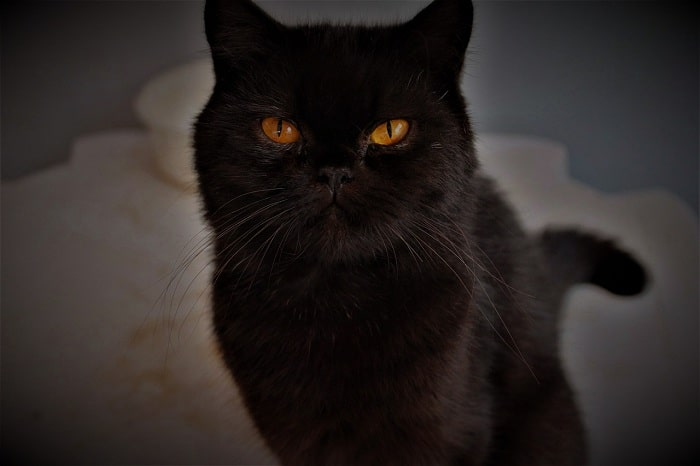 Mèo ba tư màu đen