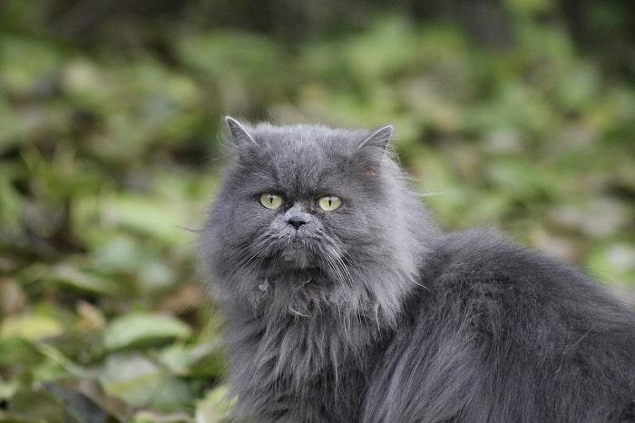 Mèo ba tư màu xám