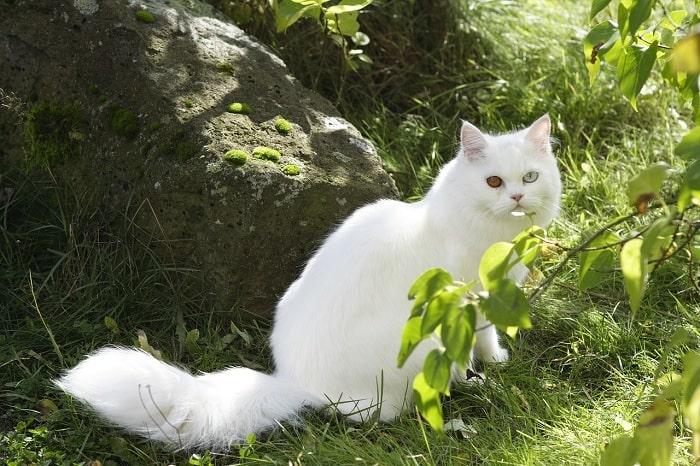 Mèo ba tư màu trắng